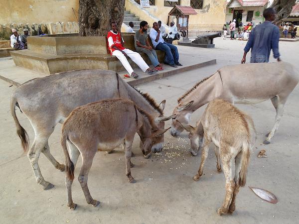 Lamu hat angeblich mehrere Tausend Esel.