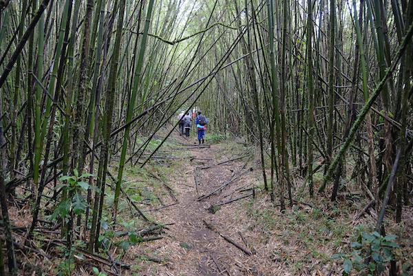 Große Teile des Gorilla-Lebensraum bestehen aus Bambus - eine ihrer liebsten Nahrungsquellen.